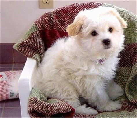 shih tzu spitz mix japanese spitz and shih tzu mix breed breeds picture