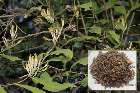 Jamu Benalu Teh Ramuan Jamu Untuk Penyakit nama obat tradisional untuk sembuhkan penyakit kista