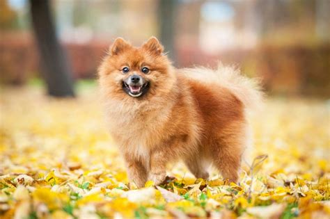 pomeranian nature 12 of the world s smallest breeds mnn nature network