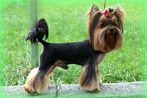 yorkie throwing up terrier or yorkie australian lover