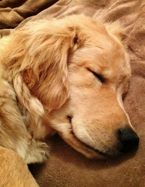 golden retriever sleeping napping golden retriever no one could possibly guess my favorite breed lol about