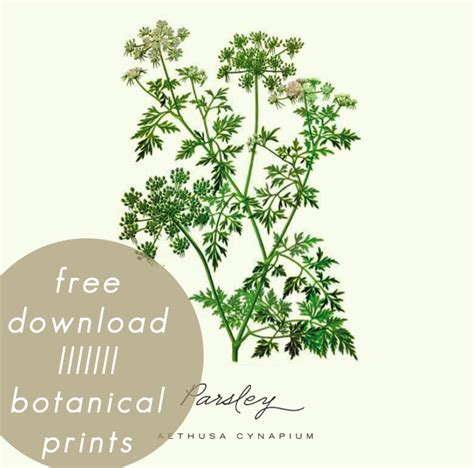 free printable herb poster free printable botanical prints 03 a daily something
