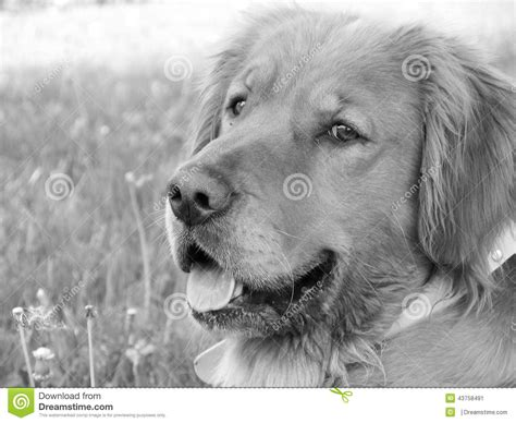 black and white golden retriever pictures black and white photo of a golden retriever stock image image 43758491