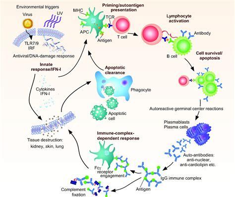 Linking Susceptibility Genes And Pathogenesis Mechanisms Induction Ppt Sle