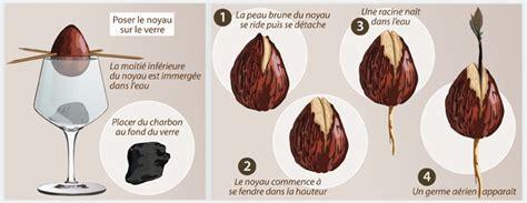 Planter Un Noyau D Avocat Germ by Faire Pousser Un Avocat Jardinage