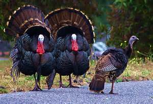 describe the first thanksgiving wild turkey next door nature