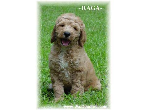 goldendoodle central puppies for sale goldendoodle goldendoodles f
