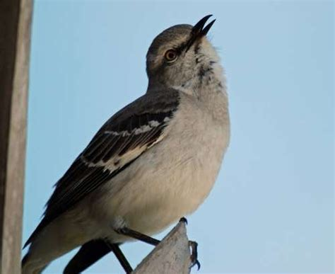 mockingbird singing at night beautiful creations pinterest