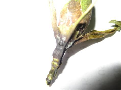 garden pests  diseases small gardenia  container