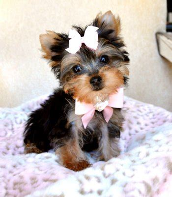 yorkie puppies for sale calgary micro teacup yorkie puppies for sale calgary classifieds calgary free ads