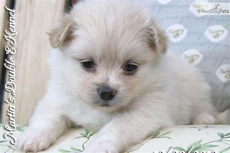 peekapom puppies peek a pom puppy for sale near williamsport pennsylvania 59dcb9d2 0891