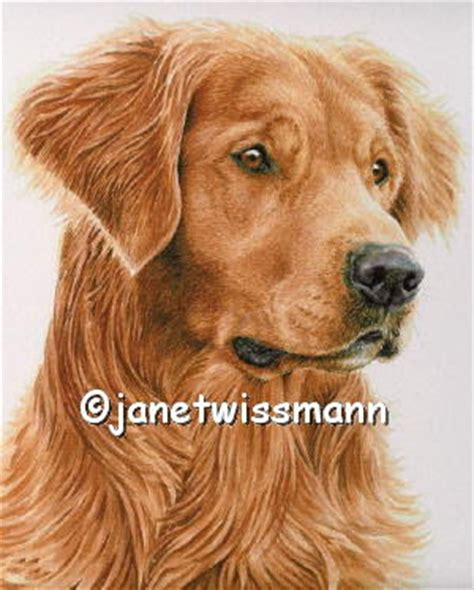 golden retriever watercolor figgie golden retriever watercolor portrait