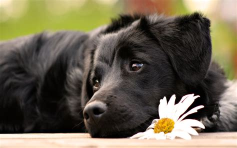 black dogs how to improve your black s coat wishforpets