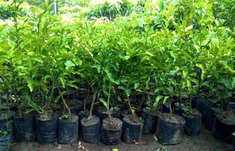 Bibit Tanaman Toga jual bibit jeruk di palembang jual bibit tanaman unggul