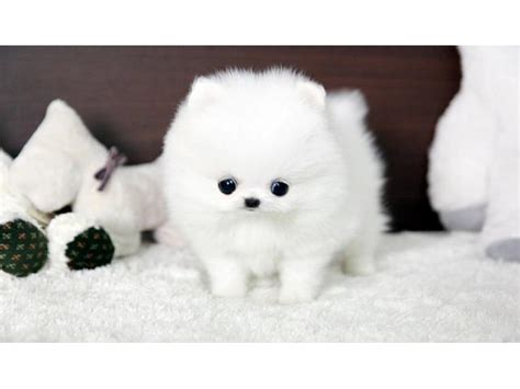 teacup pomeranian breeders australia pomeranian for sale breeds picture