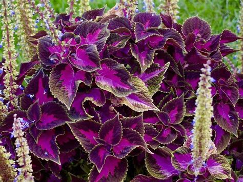 coleus black dragon  seeds showy foliage texture