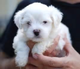 Maltese Puppies File Maltese Puppy Portrait Jpg