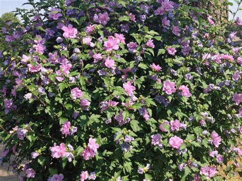 althea plant plants for dallas your source for the best landscape plant information for the dallas ft