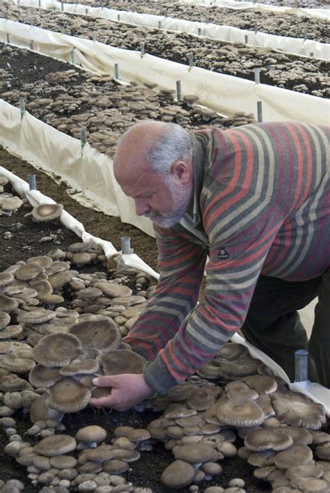 come cucinare i funghi cardoncelli coltivazione funghi cardoncelli della murgia in puglia