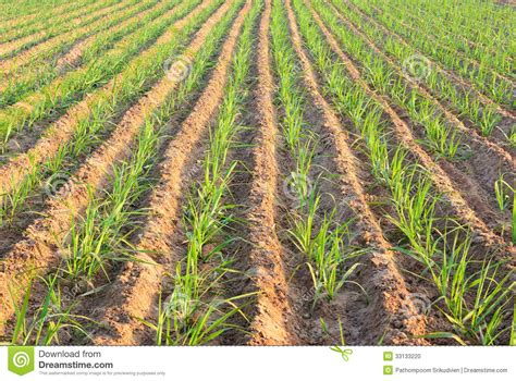 Plant Sugar Cane Stock Photo   Image: 33133220