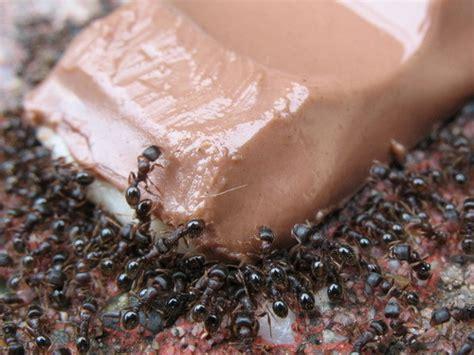 come eliminare le formiche dal giardino formiche in casa come eliminarle con metodi naturali