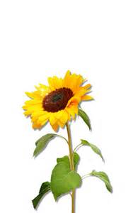 Sunflower Outline Png by Gallery For Gt Sunflower Clipart Png