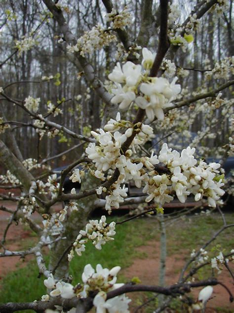 texas white redbud