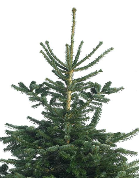 nordmann fir christmas trees delivered