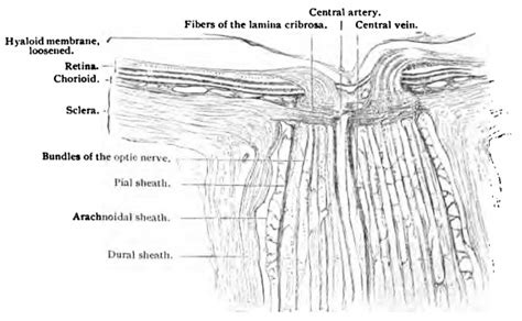 longitudinal section of eye book stoehr s histology 1 3 embryology