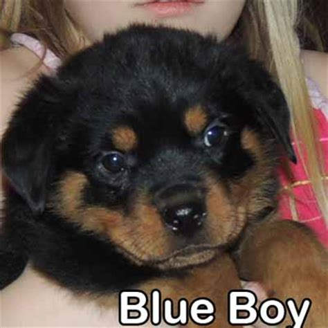blue rottweiler puppies for sale rottweiler breeders rottweiler puppies for sale german rottweilers for sale