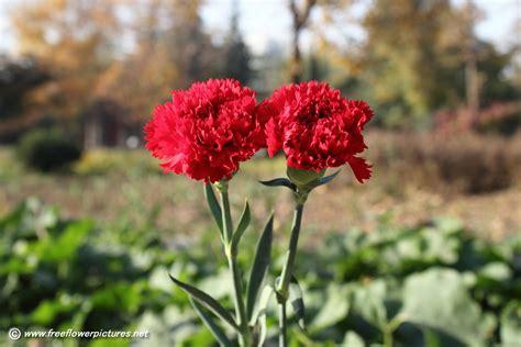 carnation flower carnation flower picture flower pictures 4242