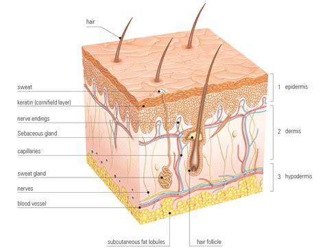 stenders cosmetics l hydratation de la peau