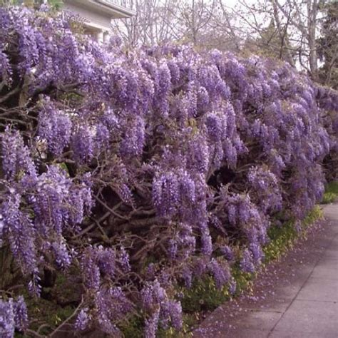 chinese wisteria wisteria sinensis buy chinese blue wisteria wisteria sinensis 10 seeds