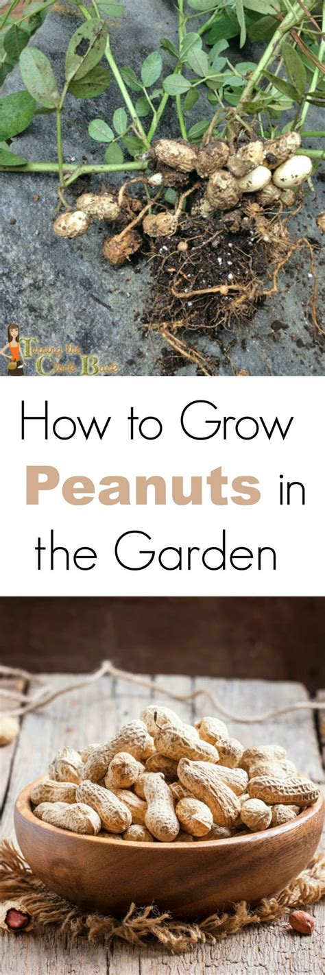 how to grow peanuts an easy guide for gardening beginners 355 best images about plants my garden on pinterest