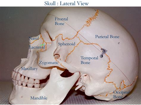 Ewhsah1 Skeletal