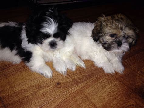 shih tzu puppies wirral shih tzu puppies for sale wirral merseyside pets4homes
