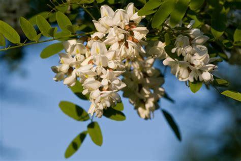 fiore acacia significato dei fiori l acacia pollicegreen