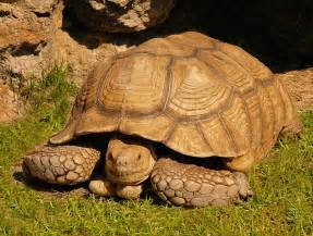 Sulcata Tortoises (Adult ) for sale from The Turtle Source