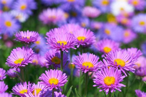 aster fiori aster flowers tips on caring for asters