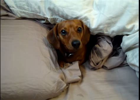 why can t dogs talk this dachshund just doesn t want to get out of bed