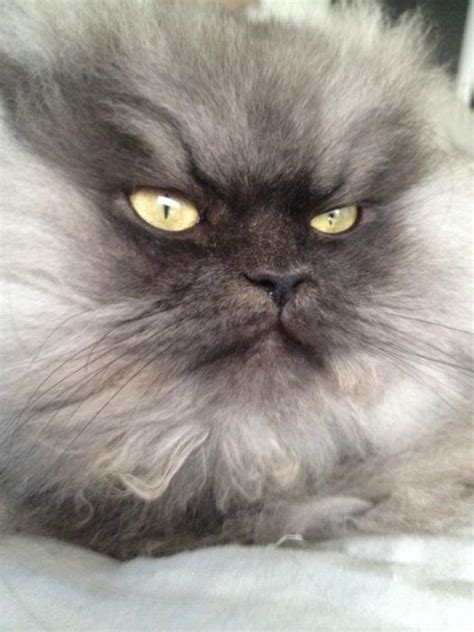Ks Meow colonel meow is the world s angriest looking cat damn
