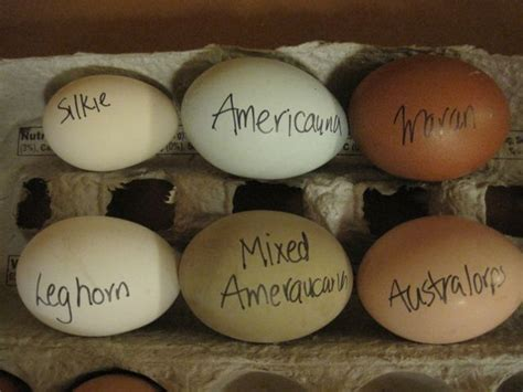 chicken egg colors image result for silkie chickens egg color chicken
