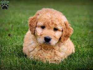 mini doodle puppies buddy mini goldendoodle puppy for sale from gordonville