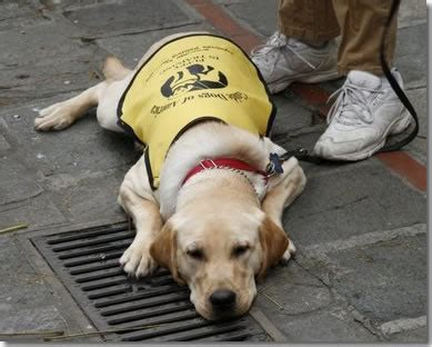 how do guide dogs get trained do all puppies in become guide dogs puppy in