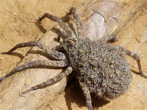 wolf spider images file wolfspider f withyoung jpg wikimedia commons