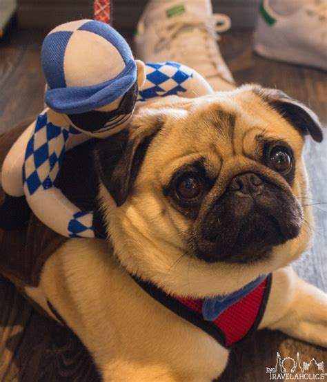 pug scratching constantly pugs take dc 2017 photo gallery