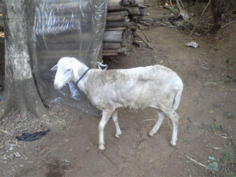Aqiqah Kambing Jantan 10 akikah 19 semarang kambing jantan atau betina