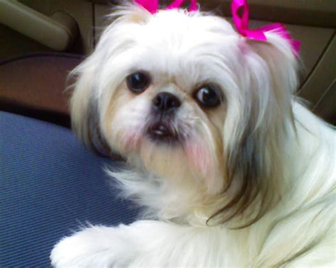 looking after a shih tzu puppy 105 best images about shih tzu hair cuts on