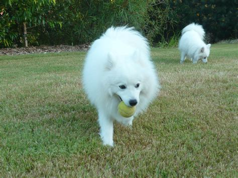 japanese spitz japanese spitz wallpapers hd