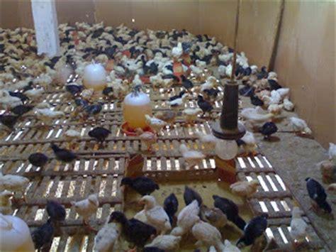 Obat Herbal Penambah Stamina Ayam Bangkok selain vaksin ternak ayam kung buras juga perlu